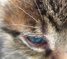 Congiuntivite in un gatto